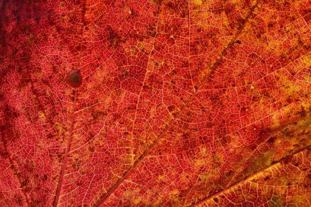 Nervures de feuilles comparable aux vaisseaux sanguins dilatés par la rosacée